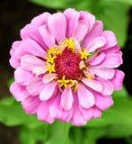 Pink zinniaen i trädgården Arkivfoto