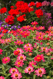 Pink Zinnias, beautiful garden. Stock Image