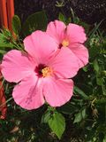 Pinkbloem Royalty-vrije Stock Foto's