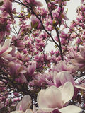 Pinke Magnolia Royalty Free Stock Photos