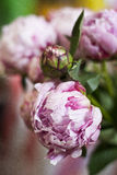 Pinke peony in detail. Pink peony flower in detail Royalty Free Stock Photos