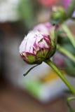 Pinke-Pfingstrose im Detail Lizenzfreies Stockbild