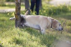 Pinkelnder Hund Lizenzfreies Stockbild