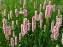 Pinken blommar bakgrund, den Bistorta majoren Arkivbilder