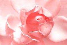 pinken steg Fotografering för Bildbyråer
