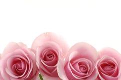 Pinken steg royaltyfri bild