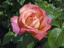 pinken steg Royaltyfria Foton