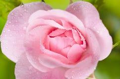 Pinken steg Arkivfoton