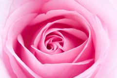 pinken steg Royaltyfri Foto