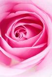pinken steg Royaltyfri Fotografi