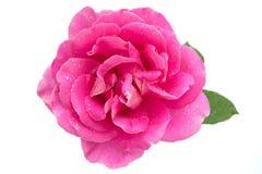 Pinken steg med vattenliten droppe Arkivfoto
