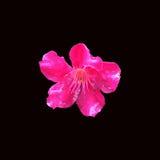 Pinkfarbene Blume Lizenzfreie Stockfotos