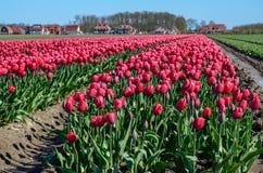 Pinkfarbene Tulpenfelder Stockfoto