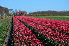 Pinkfarbenes Tulpenfeldblühen Stockbild