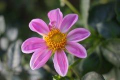 Pinkflower Fotografia Stock Libera da Diritti