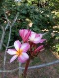 Frangipani nosegay plumeria rubra pollen. Pinkflower beautiful flower templetree graveyardtree stock photos