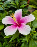 PinkHibiscus Стоковое фото RF