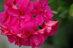 Pinkie. Geranium Flower stock photos