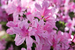 Pinkie Azaleas. Gorgeous pink azaleas, courtesy of another Glen Dale Hybrid Stock Image