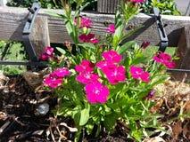 Pinkie Daisie. Pretty Pink Summer Daisies Royalty Free Stock Photos