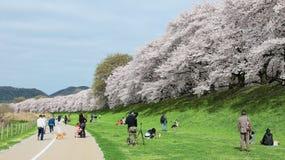 Pinkin pod pięknymi czereśniowymi okwitnięciami na łąkach Sewaritei brzeg rzeki Obrazy Royalty Free