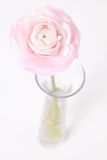 Pinkish Buttercup in glass vase on white Royalty Free Stock Photography