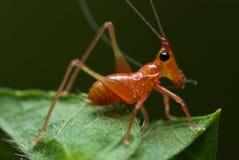 Pinkish cricket Royalty Free Stock Image