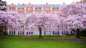 The Pinkish Dream In University Of Washington During The Cherry Blossom Spectacle In Spring. Against the classic and vintage brick style architecture building royalty free stock photo