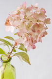 Pinkish - green  Autumn Hydrangea Stock Photos