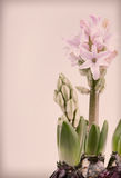 Hyacinth on vintage background Stock Photo