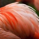 Pinkish orange Flamingo feathers. Fluff on birds back Stock Image