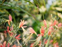 Pinkish-orange flowers of Eucrosia bicolor, Peruvian Lily, in morning sunlight on a defocus background stock photo