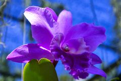 Pinkish Orchid. Royalty Free Stock Image