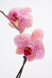 Pinkish orchid on white Stock Photo
