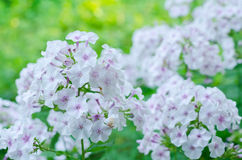 Pinkish phlox in the green. An airy and subtle phlox composition on a sunny day Royalty Free Stock Images