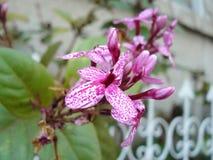 Pinkish purple striped flower Stock Photography