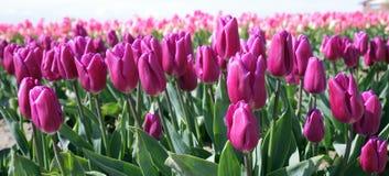 Pinkish purpurrote Tulpen Stockfoto