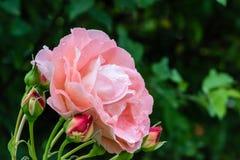 Pinkish Royalty Free Stock Image