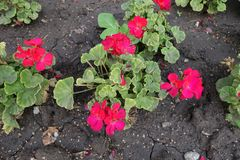 Pinkish red flowers of zonal pelargoniums. In September stock photography