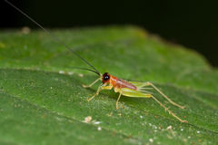 Pinkish red tiny cricket Royalty Free Stock Photos