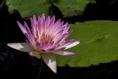Pinkish Waterlily Royalty Free Stock Photos