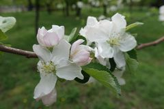 Pinkish white apple blossom in April. Pinkish white apple blossom in late April royalty free stock photography