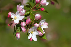 Pinkish-white apple blossoms royalty free stock photo