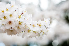 Pinkish White Cherry Blossoms. Closeup of blossoms of a cherry tree in the spring Stock Images
