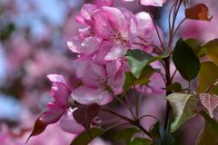 Pinkish white spring flowers of fruit tree - garden decorative apple tree. Close up royalty free stock photo