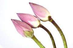 Pinklotus buds Royalty Free Stock Photography