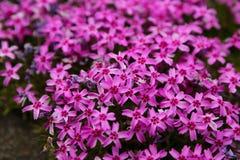 Pinkmoss Fotografia Stock