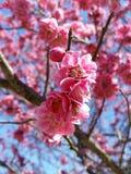 Pinkplum02 Royalty Free Stock Images