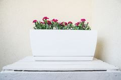 Pinks διακοσμητικό άσπρο κενό κατά μήκος flowerpot στο λευκό που χρωματίζεται συσκευάζουν, στο εγχώριο μπαλκόνι Floral υπόβαθρο έ στοκ εικόνα
