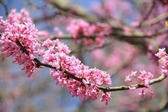 Pinks λουλούδι Στοκ Φωτογραφίες